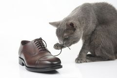 Gray cat plays with a classic lace men`s brown Shoe on white bac stock photography