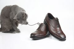 Gray cat plays with a classic lace men`s brown Shoe on white background stock photography