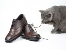 Gray cat plays with a classic lace men`s brown Shoe on white background royalty free stock photo