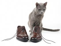 Gray cat plays with a classic lace men`s brown Shoe on white background royalty free stock photos