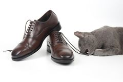 Gray cat plays with a classic lace men`s brown Shoe on white bac stock images