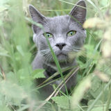 Gray cat portrait Royalty Free Stock Photo