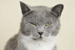 Gray cat. Royalty Free Stock Photography