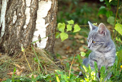 Gray cat portrait outdoor Stock Image