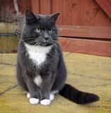 GRAY CAT PORTRAIT. Gray & White cat portrait outdoors Stock Image
