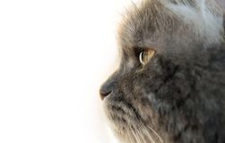 Gray Cat Profile Royalty Free Stock Photography