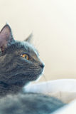 Gray cat profile Royalty Free Stock Image