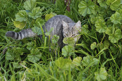 Gray cat on the prowl Royalty Free Stock Photos