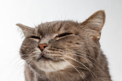 Gray cat rather squints and smiling Stock Images