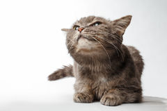 Gray cat rather squints and smiling Royalty Free Stock Images