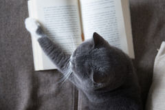 The gray cat is reading a book Stock Images
