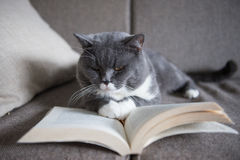 The gray cat is reading a book Stock Photos