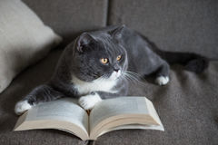 The gray cat is reading a book Royalty Free Stock Image