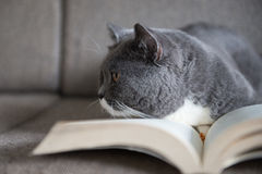 The gray cat is reading a book Stock Photo