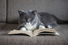 The gray cat is reading a book Royalty Free Stock Photography