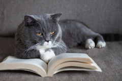 The gray cat is reading a book Royalty Free Stock Photos