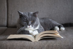 The gray cat is reading a book Royalty Free Stock Images