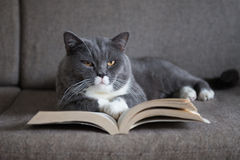 The gray cat is reading a book Royalty Free Stock Photo