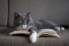 The gray cat is reading a book. Indoor shooting Stock Photo