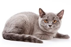Gray cat with red eyes. On white royalty free stock photos