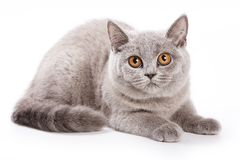 Gray cat with red eyes. On white stock photo