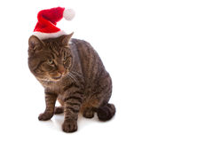 Gray cat with red Santa Claus hat. . Royalty Free Stock Photo