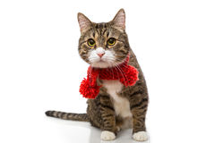 Gray cat in a red scarf Stock Images