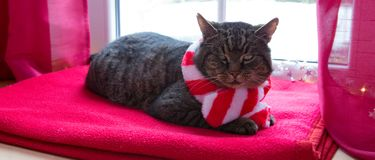 A gray cat with red scarf sits at home by the window in winter. A gray cat with red scarf sits on a woolen blanket by the window in winter stock photo