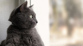 Gray cat relaxed and looking through window Stock Photos