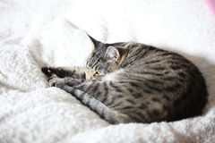 The gray cat relaxes and dreams on a bed Royalty Free Stock Image