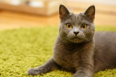 The gray cat relaxing on green carpet Stock Photo