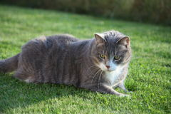 Gray cat resing in the grass Stock Photo