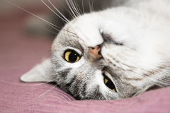 Gray cat rest. British Short, hair cat with yellow eyes Stock Photo