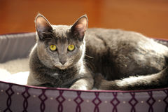 Gray Cat Resting Stock Photo