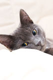 Gray cat resting stock photography