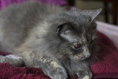 Gray Cat Resting on a Comforter Blanket Royalty Free Stock Image