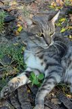 Gray cat resting in the grass Royalty Free Stock Photos