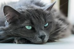 Gray cat resting after worries. Gray cat resting after daytime worries Royalty Free Stock Photography