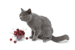 Gray cat and ripe cherry on a white background Stock Image