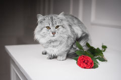 Gray cat and the rose. Gray cat and rose on white background, greeting card Royalty Free Stock Images