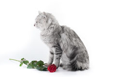 Gray cat and the rose. Gray cat and rose on white background, greeting card royalty free stock photography