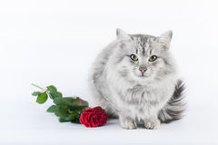 Gray cat and the rose. Gray cat and rose on white background, greeting card Royalty Free Stock Photos