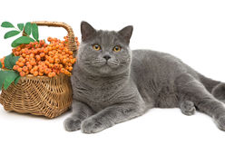Gray cat and rowan berries on a white background closeup Stock Images