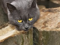 Gray cat with sad eyes Stock Photography