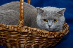 Beautiful, gray cat of scottish breed in a basket on a blue background. Gray cat of scottish breed in a basket on a blue background royalty free stock image