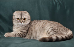 Gray cat Scottish Fold. Lies on the couch Stock Photo