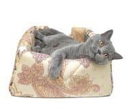 Gray cat (Scottish Straight breed) on white background. Stock Photo