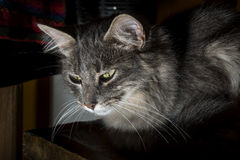 Gray cat in the shadows Royalty Free Stock Images