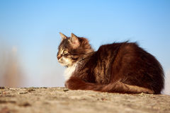 Gray cat. Sit on rock Royalty Free Stock Images