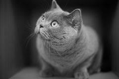 A gray cat Royalty Free Stock Photography